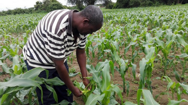 Zambian farmer Surrender Hamufuba inspecting a maize plant in his field. Experts say a changing climate is bringing more crop pests to parts of Africa. Credit: Friday Phiri/IPS